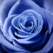 Beautiful light blue rose — Stock Photo #40179675