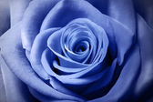 Beautiful light blue rose — Foto de Stock