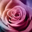Stock Photo: Beautiful colorful rose