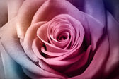 Beautiful colorful rose — Stock Photo