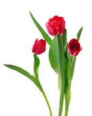 Rode tulpen — Stockfoto
