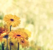 желтые герберы — Стоковое фото