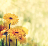 Gerbere gialle — Foto Stock
