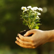 Female hand holding daisies plant — Stock Photo #48482099
