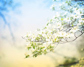 Blossoming Dogwood Tree — Stock Photo