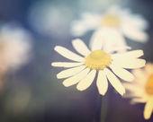 Flor de manzanilla — Foto de Stock