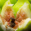 Fig with hornet inside — Stock Photo