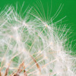 Dandelion close up — Stock Photo #15603851