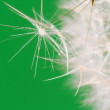 Stock Photo: Dandelion close up