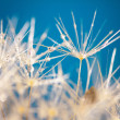 Stock Photo: Dew over dandelion close up