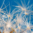 Dandelion  close up with dew — Stock Photo