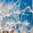 Poetic dew over dandelion close up — Stock Photo