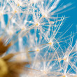 Poetic dandelion with dew — Stock Photo