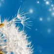 Stock Photo: Dandelion seeds