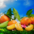 Fresh clementines against blue sky — Stockfoto