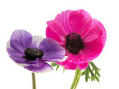 Couple of beautiful anemone flowers — Stock Photo
