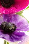 Anemon kolorowe kwiaty z bliska — Zdjęcie stockowe
