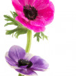 Couple of beautiful anemone flowers — Foto de Stock