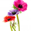 Bunch of colorful anemone flowers — Zdjęcie stockowe