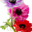 Bunch of colorful anemone flowers — Stok fotoğraf