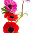 Bunch of colorful anemone flowers — Stockfoto