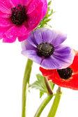Mazzo di fiori di anemoni colorati — Foto Stock