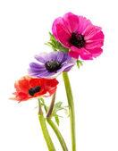 Bukiet kwiatów kolorowy anemon — Zdjęcie stockowe