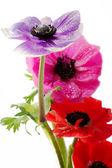 Bos van kleurrijke anemone bloemen — Stockfoto