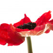 图库照片: Red anemone flower over white background