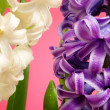 Hyacinth close up composition — Stok fotoğraf