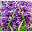 Hyacinth close up composition — Stockfoto