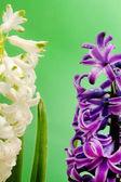 Hyacint květiny zblízka — Stock fotografie