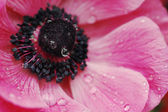 Pink anemone flower close-up with dew — Stock Photo