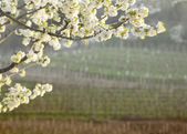Flowering cherry tree with collio vineyards background — 图库照片
