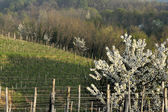 Cherry tree and collio vineyards — Stock Photo