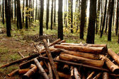 Cut trunks and forest vegetation — Stock Photo