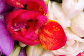 Red freesia detail — Stock Photo