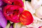 Red freesia detail — Foto Stock