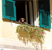 Curious dog watching out of the window tu Portofino house — Foto de Stock
