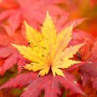 Stock Photo: Yellow Maple Leaf