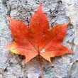 Stock Photo: Brown Maple Leaf