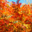 Stock Photo: Colorful maple leaf
