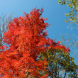 Stock Photo: Red leaf tree and blue sky