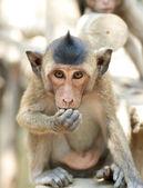 Cute infant Monkey eating — Stock Photo