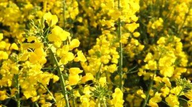 Rape seed flowering — Stock Video