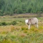 White goat animal — Stock Photo