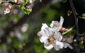 Bee on a plum blossom — Stock Photo