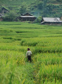 Kid walking on the rice fields — Stok fotoğraf