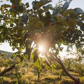 Manzanas orgánicas frescas — Foto de Stock