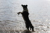 Dog in the lake — Stock Photo